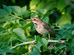 P6041556 (sen4dan) Tags: bird chirping singing naturesfinest bravo