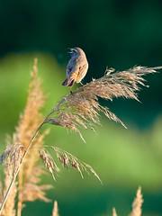 P6041526 (sen4dan) Tags: bird chirping singing naturesfinest bravo