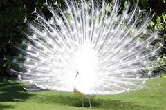 His Majesty (ryorii) Tags: isoleborromee isolabella isolamadre lagomaggiore piemonte italia italy peacocks white birds feathers male fan