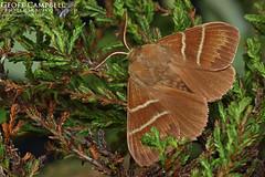 Fox Moth Macrothylacia rubi (gcampbellphoto) Tags: fox moth macrothylacia rubi insect nature wildlife north antrim northern ireland macro gcampbellphoto