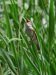 P6071358 (sen4dan) Tags: bird chirping singing naturesfinest bravo