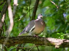 P6041366 (sen4dan) Tags: bird chirping singing naturesfinest bravo
