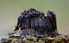 Stemonitis sp. (epioxi) Tags: epioxi slimemold slimemould myxomycetes macrophotography tamron90mm scheimpilz schleimpilze