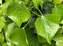 After the rain (rustyruth1959) Tags: iphone7 uk england yorkshire calderdale ripponden leaf rain greenery raindrops nature droplets stalk stem leaves bush