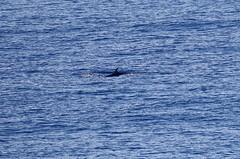 Dorsal fin of swimming Gray's (?) Beaked Whale (Paul Cottis) Tags: beaked whale cetacean marine mammal swim swimming ocean drake lake passage paulcottis 5 february 2019 feb