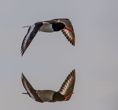 Probably an even better reflection (Robin M Morrison) Tags: oystercatcher perfect reflection blackholemarsh seaton devon