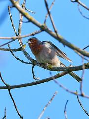 P6041422 (sen4dan) Tags: bird chirping singing naturesfinest bravo