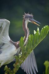 Young Tri Colored Heron flapping in nest (jungle mama) Tags: heron tricoloredheron juvenileheron flapping nest green white wakodahatcheewetlandsdelraybeachfl wakodahatchee susanfordcollins coth5