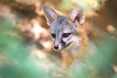 Lil Fox (Monkeystyle3000) Tags: gray fox kit desert animal nevada