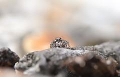 Aelurillus v-insignitus (female) (willjatkins) Tags: wildlifeofeurope wildlife europeanwildlife arachnids arachnid arachnidsofeurope europeanarachnids spider spiders spidersofeurope europeanspiders jumpingspider salticidae aelurillus aelurillusvinsignitus britishwildlife britisharachnids britishspiders ukwildlife ukarachnids ukspiders dorsetwildlife heathlandwildlife heathland heathlandspiders closeupwildlife closeup macro macrowildlife nikond610 nikon sigma105mm