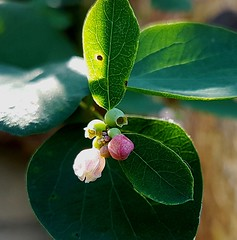 Schneebeere Blüte (claudine6677) Tags: pflanze plant strauch schneebeere blüte