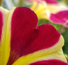Petunien-Liebe (claudine6677) Tags: pflanze blume petunie herz blüte petunia heart flower garden