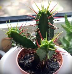 stachelig (claudine6677) Tags: kaktus cactus wolfsmilch stacheln kakteen sukkulenten prickly spiky