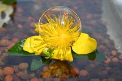 DSC_4839 (griecocathy) Tags: macro fleur millepertuis bulle bille argile feuille étamines pétale reflet éclat brillance jaune marron vert blanc