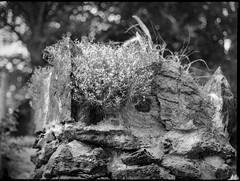 old stone wall, corner, top VI, Craggy Avenue, Asheville, NC, Mamiya 645 Pro, Mamiya Sekor 45mm f-2.8, Bergger Pancro 400, HC-110 developer, 6.6.19 (steve aimone) Tags: stonewall top corner craggyavenue asheville northcarolina mamiya645pro mamiyasekkor45mmf28 mamiyaprime primelens monochrome monochromatic blackandwhite mediumformat 120 120film film berggerpancro400 hc110developer