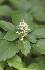 Japanese Pachysandra (Pachysandra terminalis) (macronyx) Tags: nature blommor växter växt plants plant flowers flower skugggröna pachysandra japanesepachysandra pachysandraterminalis