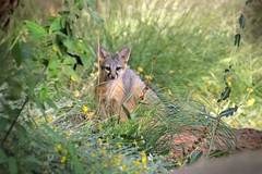 Lil Fox (Monkeystyle3000) Tags: gray fox kit wildlife animal desert