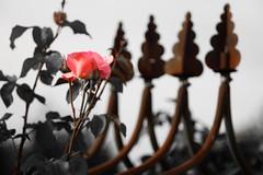 Rose (Pascal Volk) Tags: berlin althohenschönhausen kga landinsonne kleingartenanlage berlinlichtenberg schrebergarten rose rosa natur nature naturaleza pflanze plant planta blume flower flor blüte blossom bloom floral flowerpower sommer summer verano canoneosr meyeroptikgörlitzprimotar135135v 135mm m42 altglas vintagelens dxophotolab crazytuesday