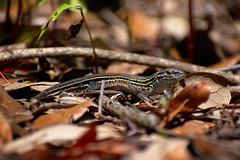 Six-Lined Racerunner (Griffin155) Tags: lizard animal sixlined racerunner reptile wildlife nature