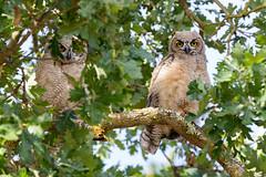 Great Horned Owl Fledgings (wlb393) Tags: greathornedowl raptor fledgling birds livermore