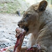 Lioness with a bone