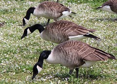 Canada geese (lesleydoubleday) Tags: canadageese nottinghamshire nationaltrust clumberpark