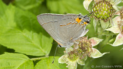 Grey Hairstreak (Strymon melinus) nectaring on Blackberry blossoms R0023 Backus Woods, ON HD (www.PhotographsFromNature.com) Tags: backuswoods berryflower bush butterfly hairstreak insecta lepidopterabutterfliesmoths lycaenid macrophotography naturephotography norfolkco ontario photographerjaycossey shrub