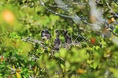 Yellow-crowned Night Heron Babies I (Michiale Schneider) Tags: yellowcrownednightherons baby bird nature wildlife dingdarlingwildliferefuge sanibelisland florida michialeschneiderphotography
