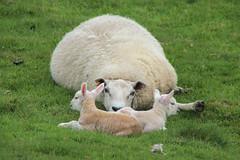 Twins (the.haggishunter) Tags: nature animal sheep ew lambs twins field staffordshire