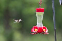 june 2019 sagawau canyon (timp37) Tags: humming bird hummingbird feeder illinois june 2019 sagawau canyon