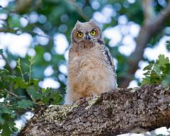 Great Horned Owl Fledging (wlb393) Tags: greathornedowl raptor fledgling birds livermore