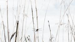Poesie (1elf12) Tags: libelle dragonfly walkenried schilf harz germany deutschland insekt insect sackteich