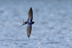 On the wing,Swallow in flight. (noelbarke) Tags: swallow flight attenborough nature reserve nottingham wildlife trust bird noel barke hirundo rustica perches wires catches prey wing nests barns buildings surface water iridescent blue back flying insects