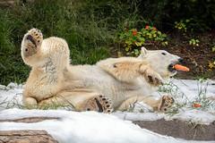 Carrot Munching (helenehoffman) Tags: snowday2019 bear polarbearplunge ursidae mammal wildlife ursusmaritimus sandiegozoo tatqiq polarbear animal play snow conservationstatusvulnerable arctic coth alittlebeauty specanimal coth5