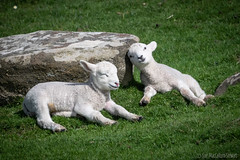 Chilling with my brother...... (Sue MacCallum-Stewart) Tags: sheep wool lamb siblings nature