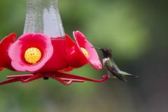june 2019 sagawau canyon (timp37) Tags: hummingbird feeder humming bird illinois june 2019 sagawau canyon