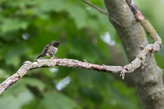 sagawau canyon. june 2019 (timp37) Tags: june 2019 sagawau canyon illinois bird humming hummingbird branch
