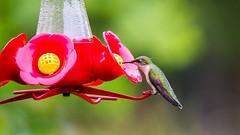june 2019 sagawau canyon (timp37) Tags: bird feeder humming hummingbird illinois june 2019 sagawau canyon