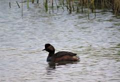 Black-necked grebe (marksargeant57) Tags: water waterbird grebe canonpowershotsx60hs framptonmarsh rspbframptonmarsh podicepsnigricollis blackneckedgrebe