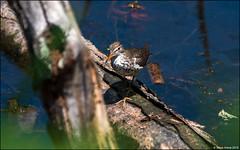 Spotted Sandpiper (Actitis macularius) (Steve Arena) Tags: wwma westborowildlifemanagementarea westboro westborough worcestercounty massachusetts 2019 nikon d750 bird birds birding spottedsandpiper actitismacularius