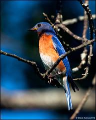 Eastern Bluebird (Sialia sialis) (Steve Arena) Tags: westborowildlifemanagementarea westboro westborough worcestercounty massachusetts 2019 nikon d750 bird birds birding easternbluebird wwma sialiasialis thrush
