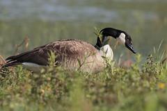 Oca canadese (Marcello Giardinazzo) Tags: oca avifauna natura bird uccelli stagno