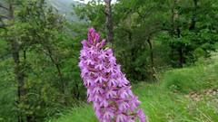 Orchis Pyramidal (bernard.bonifassi) Tags: bb088 06 alpesmaritimes 2019 printemps thiery counteadenissa canonpowershotsx60 fleur juin