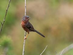 Dartford Warbler (kc02photos) Tags: dartfordwarbler sylviaundata minsmere suffolk uk birdphotography
