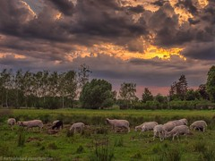 The black sheep of the family (Steppenwolf33) Tags: sheep sky thunderstorm meadow berlin köpenick steppenwolf33