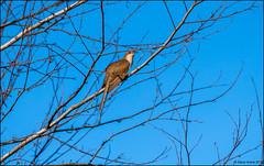 Black-billed Cuckoo (Coccyzus erythropthalmus) (Steve Arena) Tags: wwma westborowildlifemanagementarea westboro westborough worcestercounty massachusetts 2019 nikon d750 bird birds birding blackbilledcuckoo coccyzuserythropthalmus cuckoo