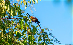 Orchard Oriole (Icterus spurius) (Steve Arena) Tags: wwma westborowildlifemanagementarea westboro westborough worcestercounty massachusetts 2019 nikon d750 bird birds birding orchardoriole oriole icterusspurius adult male
