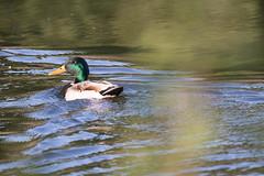 _MG_7859.jpg (Rolf Petters`s photos) Tags: klokkerhagenanima fugl fugler klokkerhagen dyr