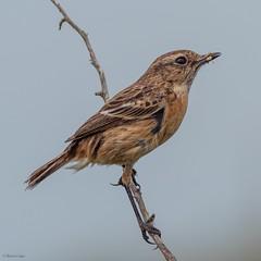 Stonechat (kc02photos) Tags: stonechat saxicolarubicola minsmere suffolk uk birdphotography