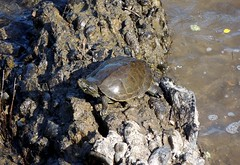 Northern Map Turtle, Bucks County, PA, June 2019 (sstaedtler) Tags: turtle mapturtle nature map outdoors outside reptile herping herps animal buckscounty